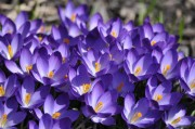 purple-crocuses